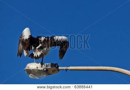 Funny preening Pelican