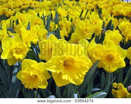 Bright daffodils