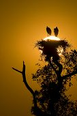 image of stork  - Dawn at jabiru stork nest Pantanal region Brazil - JPG