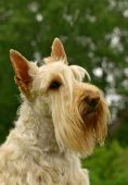 pic of scottie dog  - The Scottish Terrier  - JPG