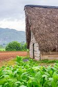 stock photo of tobacco barn  - Tobacco plantation and tobacco curing barn at the famous Vinales Valley in Cuba - JPG
