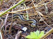 stock photo of garter  - Black and yellow Garter snake in dead grass - JPG