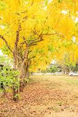 stock photo of vishu  - Golden shower tree flowers are blooming in the garden - JPG