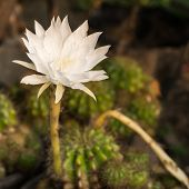 stock photo of spiky plants  - White flower of cactus, spiny plant in garden