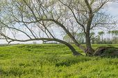 picture of dike  - Willow tree next to a Dutch dike in springtime - JPG