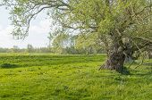 stock photo of dike  - Old and weathered willow tree next to a Dutch dike in springtime - JPG