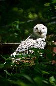 stock photo of snowy owl  - Snowy Owl is hidding in the trees - JPG