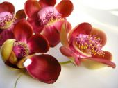 pic of champa  - Beautiful exotic and fragrant Cannonball flower is found in Asia Africa and in South America in Amazon rain forests - JPG