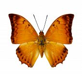 image of malay  - Malay Rajah butterfly upper wing profile in natural color isolated on white background - JPG