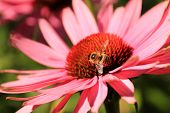 pic of gadfly  - Closeup of Echinacea purpurea flower with a working bee - JPG
