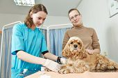 foto of veterinary  - Female veterinarian surgeon worker making blood test to spaniel dog in veterinary surgery clinic - JPG