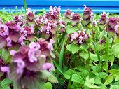 stock photo of catnip  - catnip pink growing in a large meadow - JPG