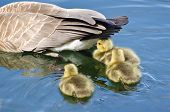 picture of baby goose  - Canada Goose Goslings Staying Close to Mom - JPG