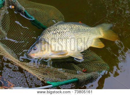 Fishing catch. The Common Carp ( Cyprinus Carpio ). In Central Europe ( Poland and Czech Republic ), fish is a traditional part of a Christmas Eve dinner.