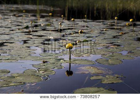 Yellow flower and water lily