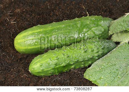 Two Organic Cucumbers