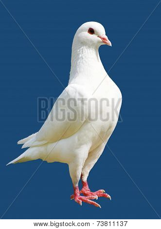 White Pigeon Isolated On Blue Background