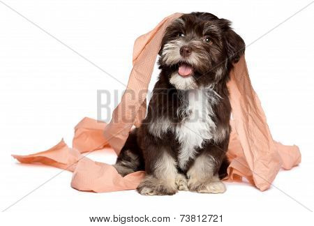 Funny Dark Chocolate Havanese Puppy Is Playing With Toilet Paper