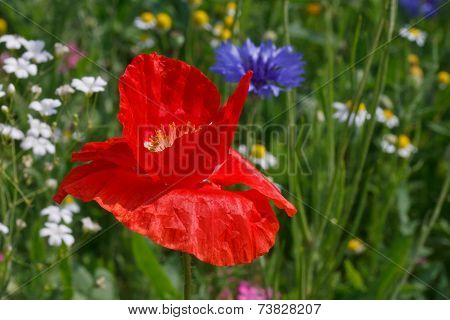 Red Poppy On Meadow