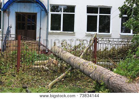 Fallen cottonwood on school fence