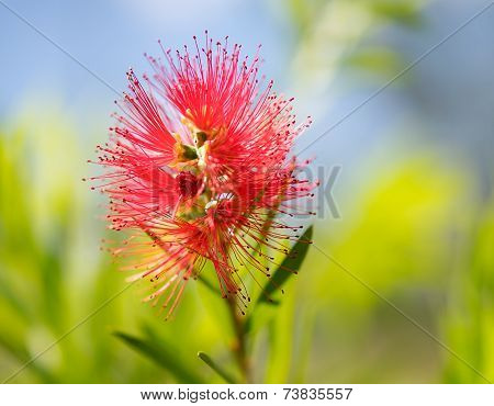 Spring Bloom Australian Callistemon Captain Cook