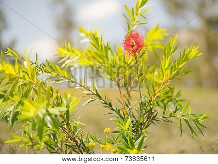 First Spring Flower Of Australian Callistemon