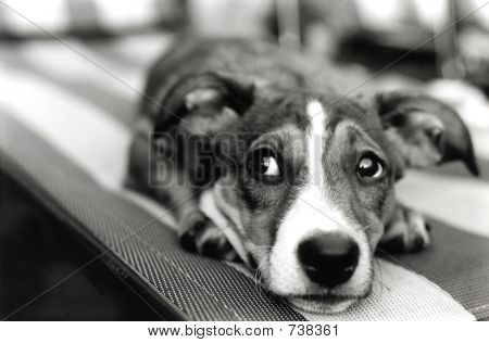 Cachorro mau