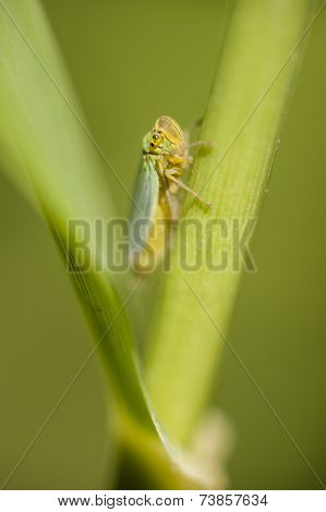 Small Cicada Hiding Between A Leaf And Stalk