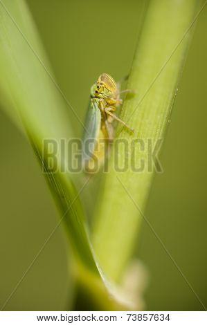 Small Cicada Hiding Between A Leaf And Stalk