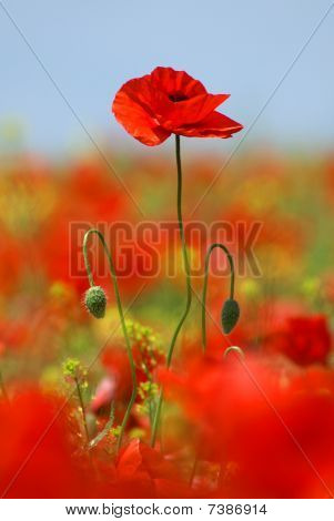Overgrown Poppy Flower