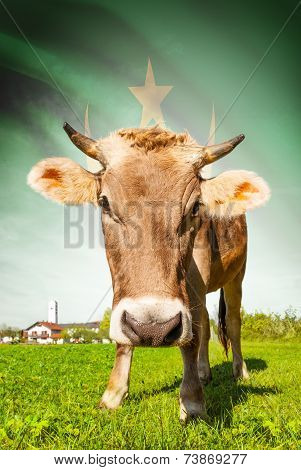 Cow With Flag On Background Series - Mauritania