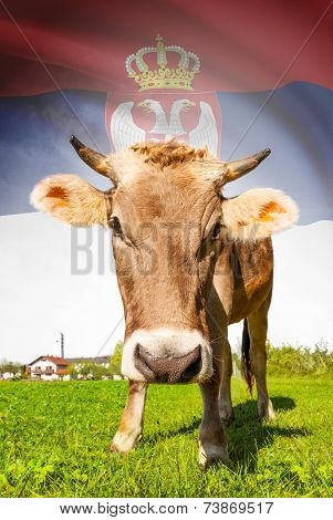 Cow With Flag On Background Series - Serbia