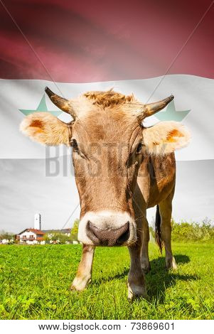 Cow With Flag On Background Series - Syria