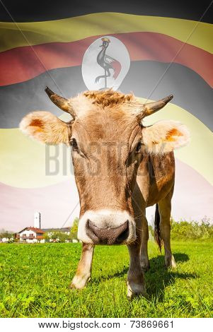Cow With Flag On Background Series - Uganda