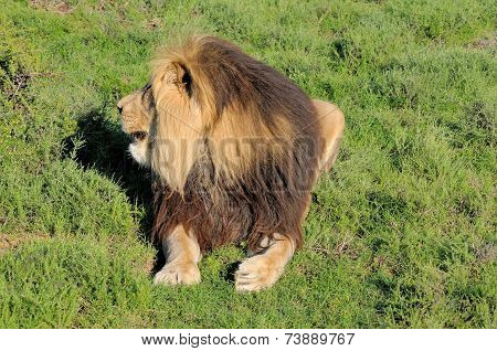 Kalahari Lion Showing Mane