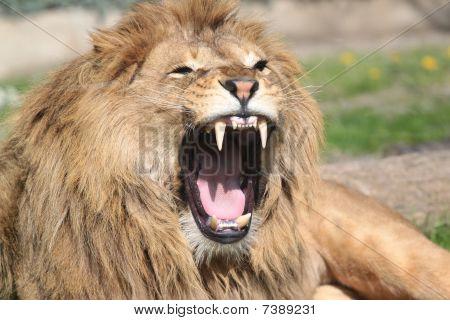 Lion roaing