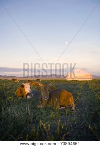 Herd of domesticated cows lying down in front of a tent in a beautiful scenic.