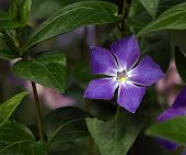 stock photo of greater  - Close up on bigleaf or large or greater or blue periwinkle - JPG