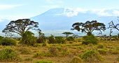 picture of kilimanjaro  - Amboseli National Park and Mount Kilimanjaro in Kenya