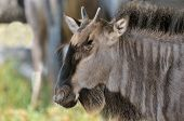 stock photo of wildebeest  - Blue Wildebeest calf hiding from the sun in the Kgalagadi Transfrontier Park - JPG