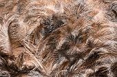 foto of wild turkey  - Background close up brown feathers of Wild Turkey  - JPG