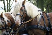 stock photo of carriage horse  - The photograph of horse carts with Haflinger horses before a carriage - JPG