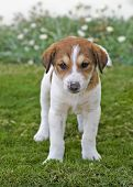 stock photo of cute puppy  - Young puppy playing outside in the garden - JPG