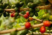 pic of coffee coffee plant  - Coffee beans - JPG