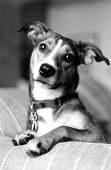 pic of molly  - Some dogs are more human than canine - JPG
