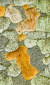 pic of elm  - Zelkova tree bark detail genus of deciduous plant of elm family Ulmaceae - JPG