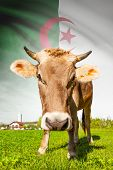 stock photo of algeria  - Cow with flag on background series  - JPG