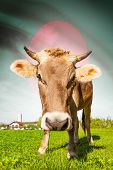 image of bangladesh  - Cow with flag on background series  - JPG
