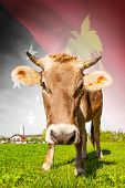 stock photo of papua new guinea  - Cow with flag on background series  - JPG