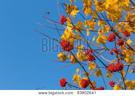 Rowan In Autumn